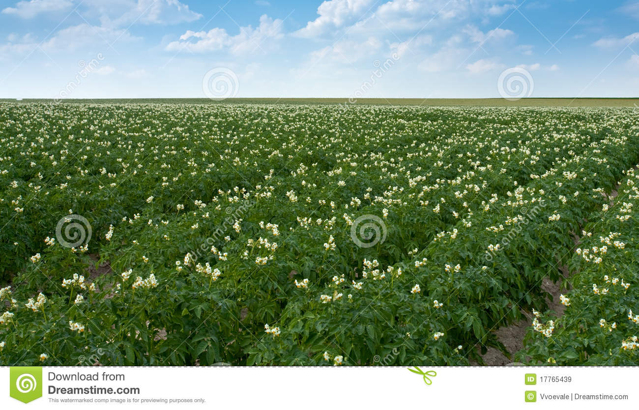 Field Of Potato Plant Royalty Free Stock Images - Image ...