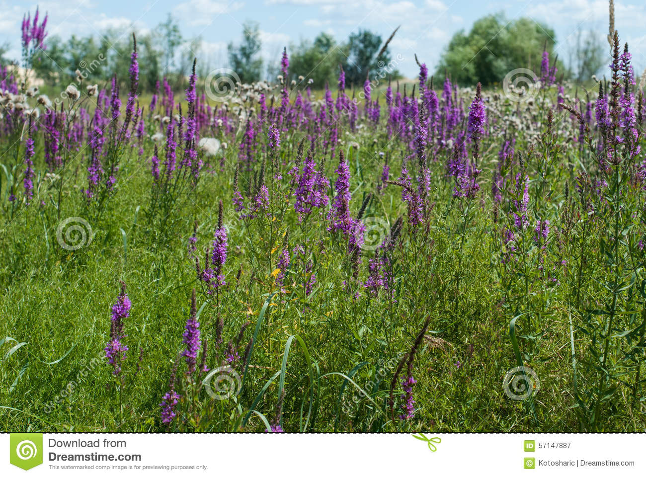 Field Of Purple Flowers In The Grass Stock Image Image Of