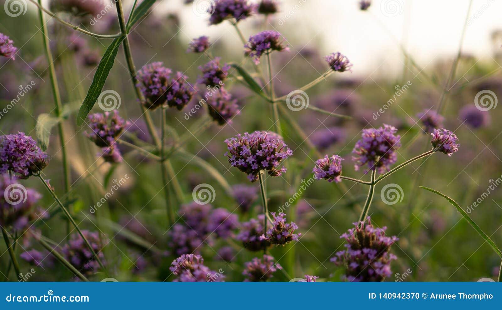 Field of purple petite petals of Vervian flower blossom on green leaves under sky, know as Purpletop vervian or vebena