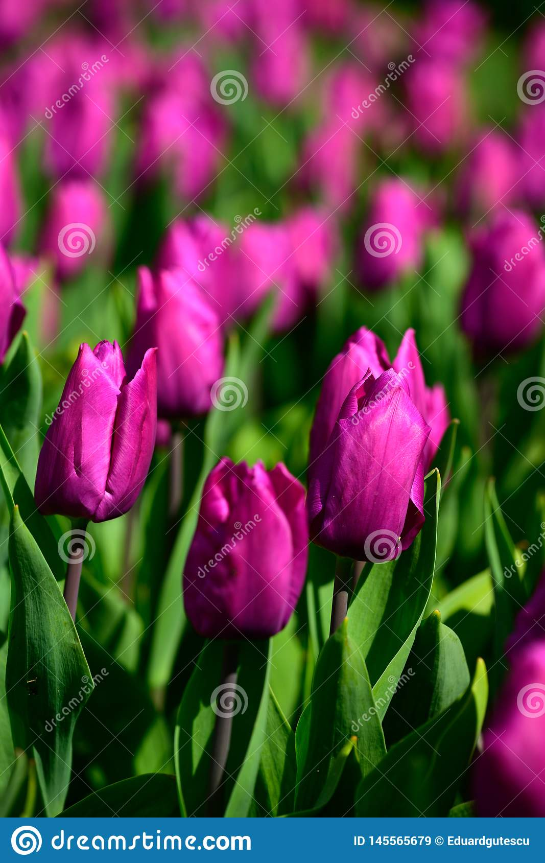 Field of purple tulips in Holland , spring time colourful flowers