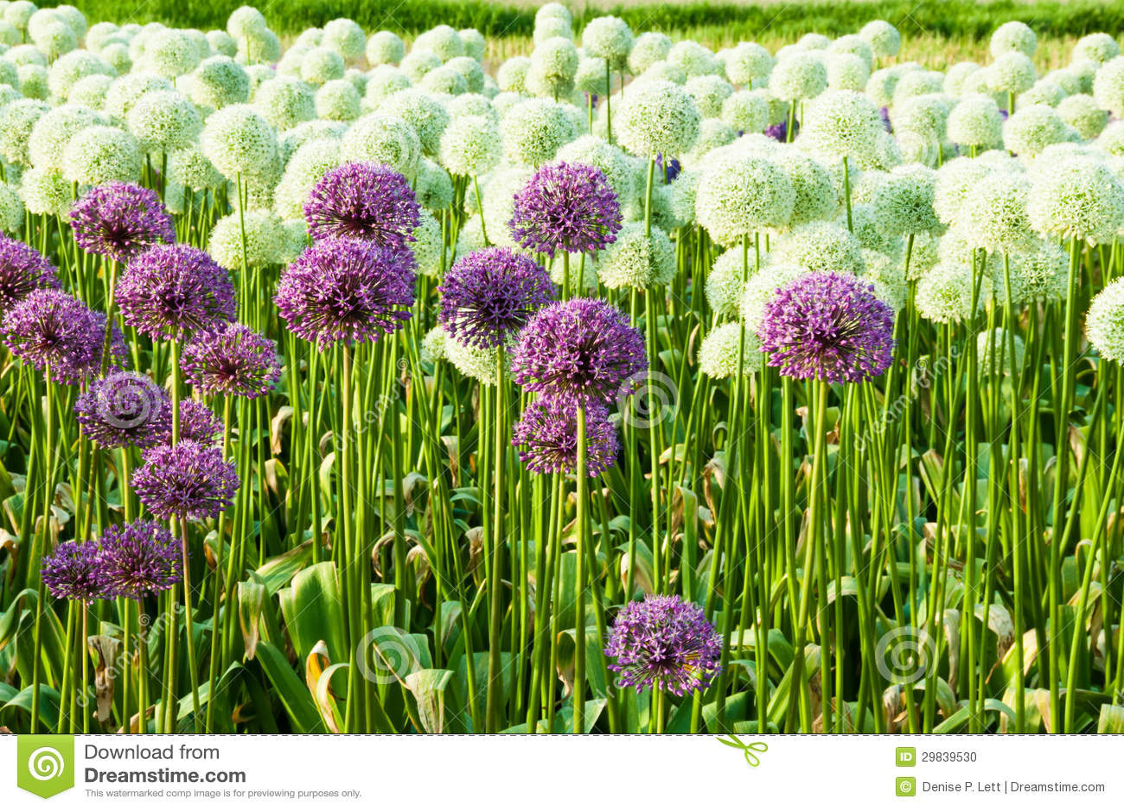 Field Allium Flowers Stock Image