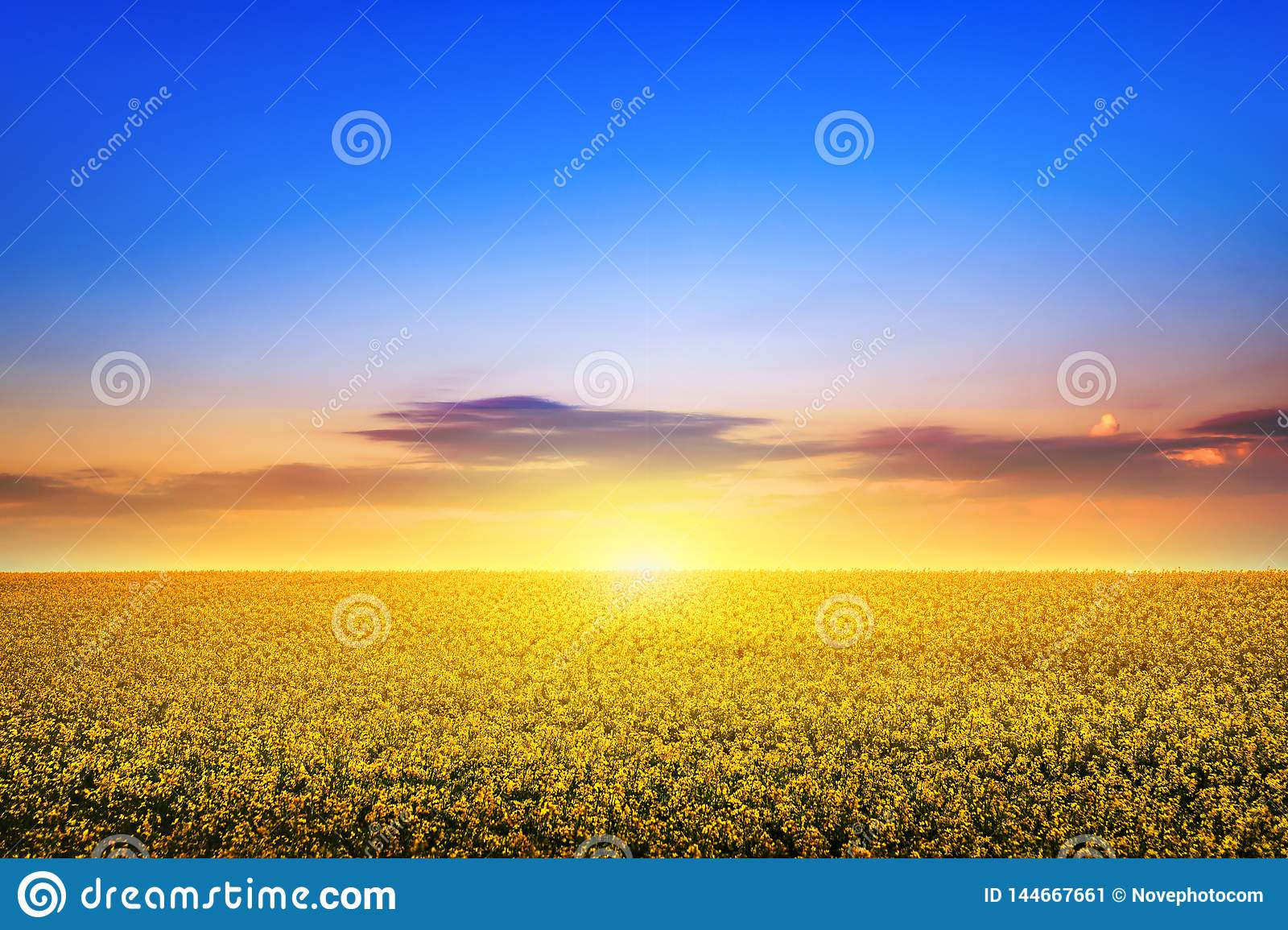 Field of rapeseed flowers in spring