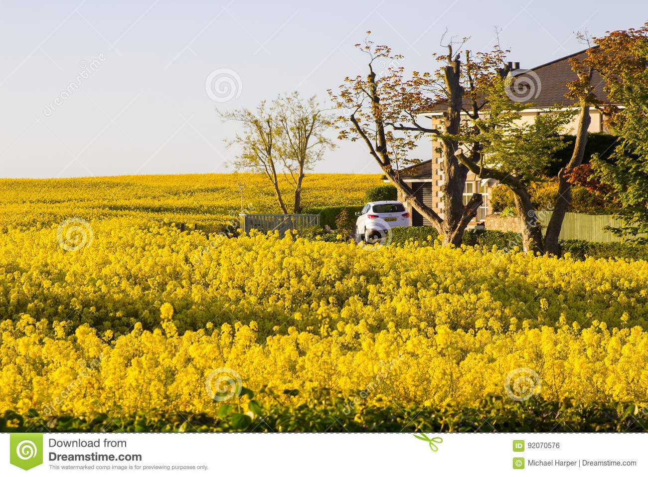 A Field Of Rapeseed On An Irish Farm With Its Bright Yellow Flower