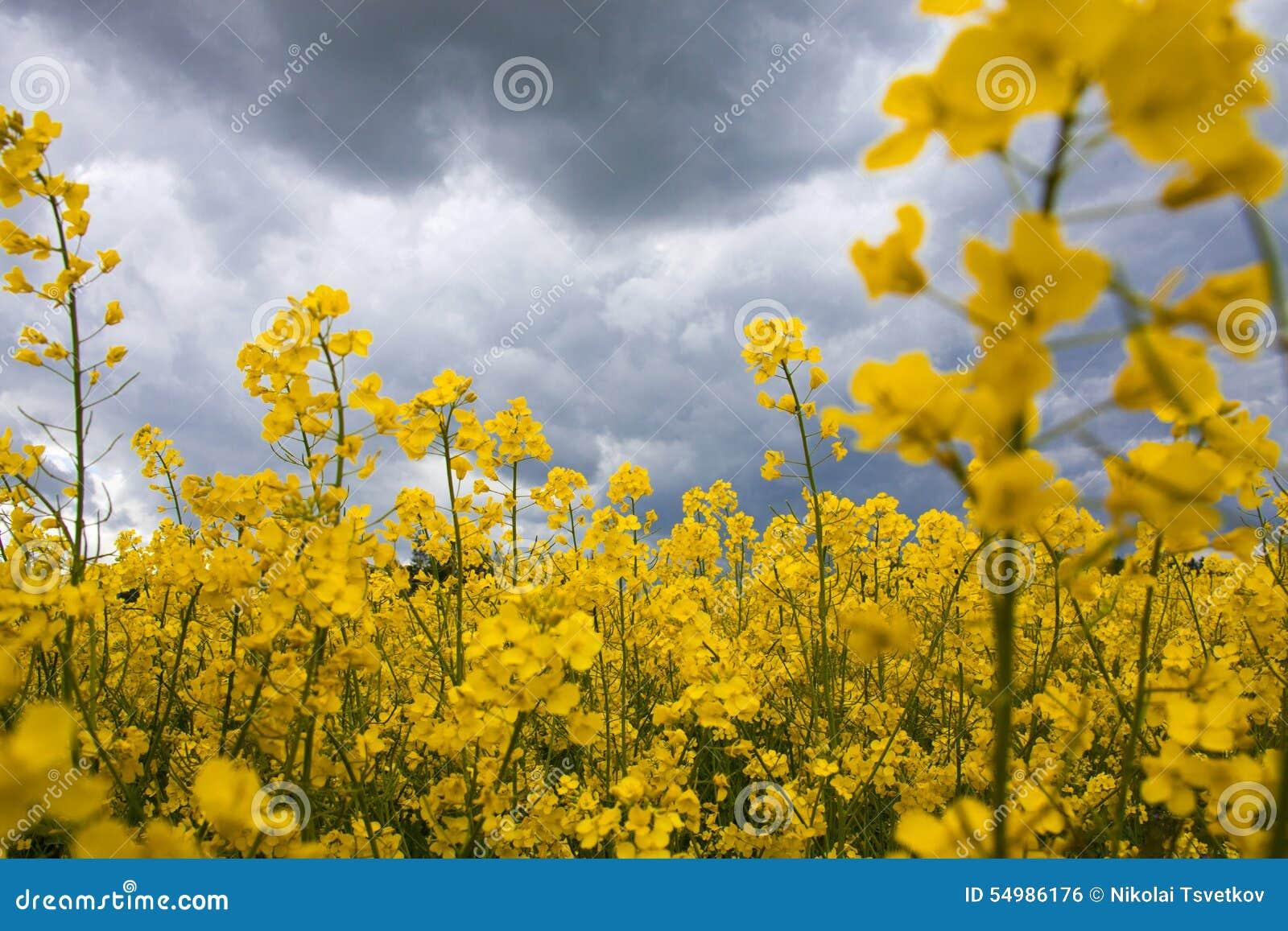 Field rapeseeden