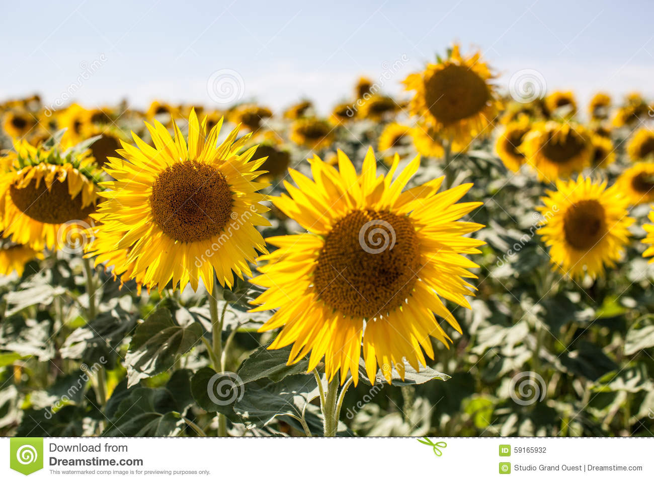 field of real sunflowers in natural daylight stock photo image of