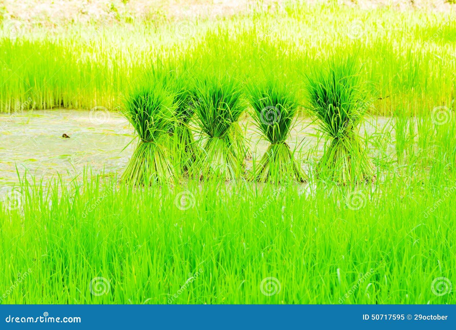 Field rice