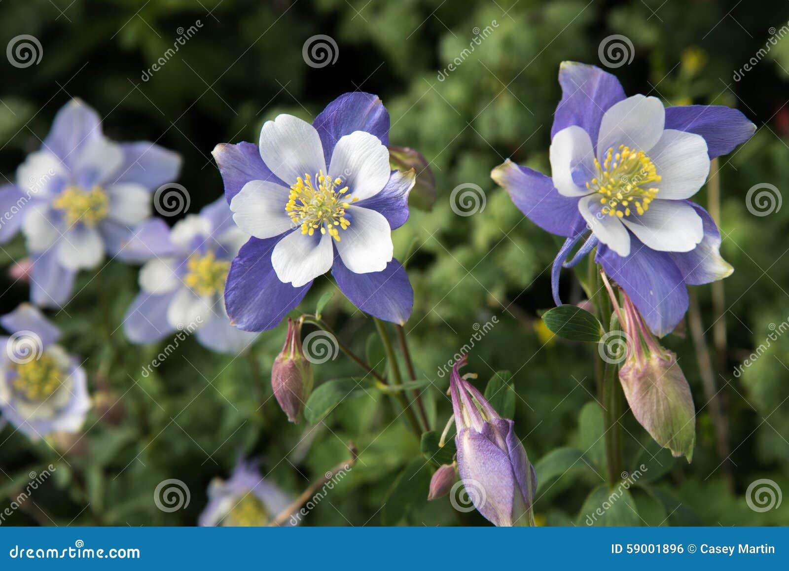 Field with rocky mountain blue columbine flowers stock photo image royalty free stock photo izmirmasajfo Gallery