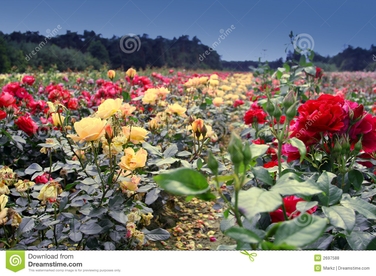 Field Of Roses Royalty Free Stock Photos - Image: 2697588
