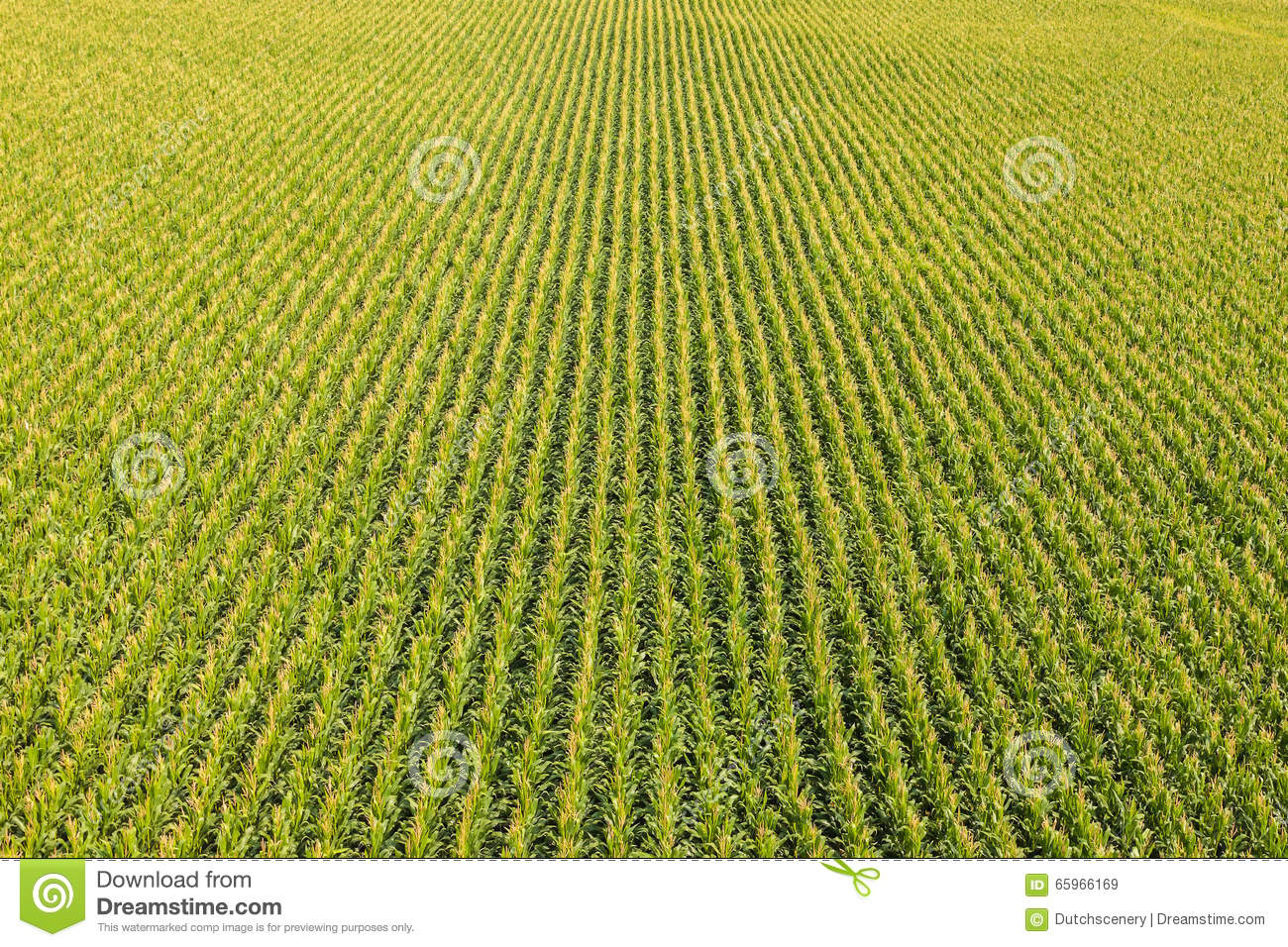 Field With Rows Of Corn Plants Stock Photo - Image: 65966169
