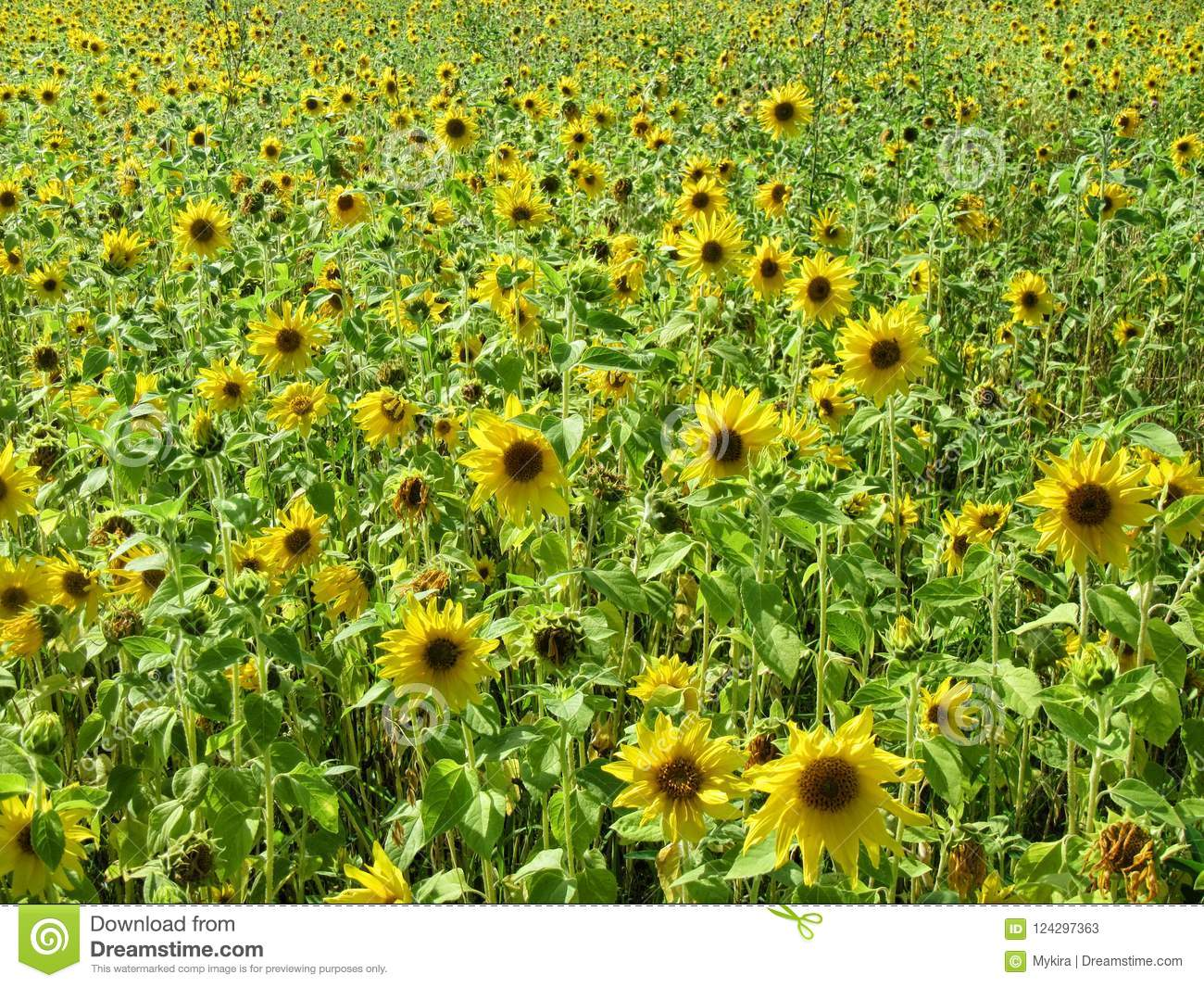 Download Field Of Small Blooming Sunflowers, Rural Landscape. Stock Image - Image of leaves, closeup: 124297363