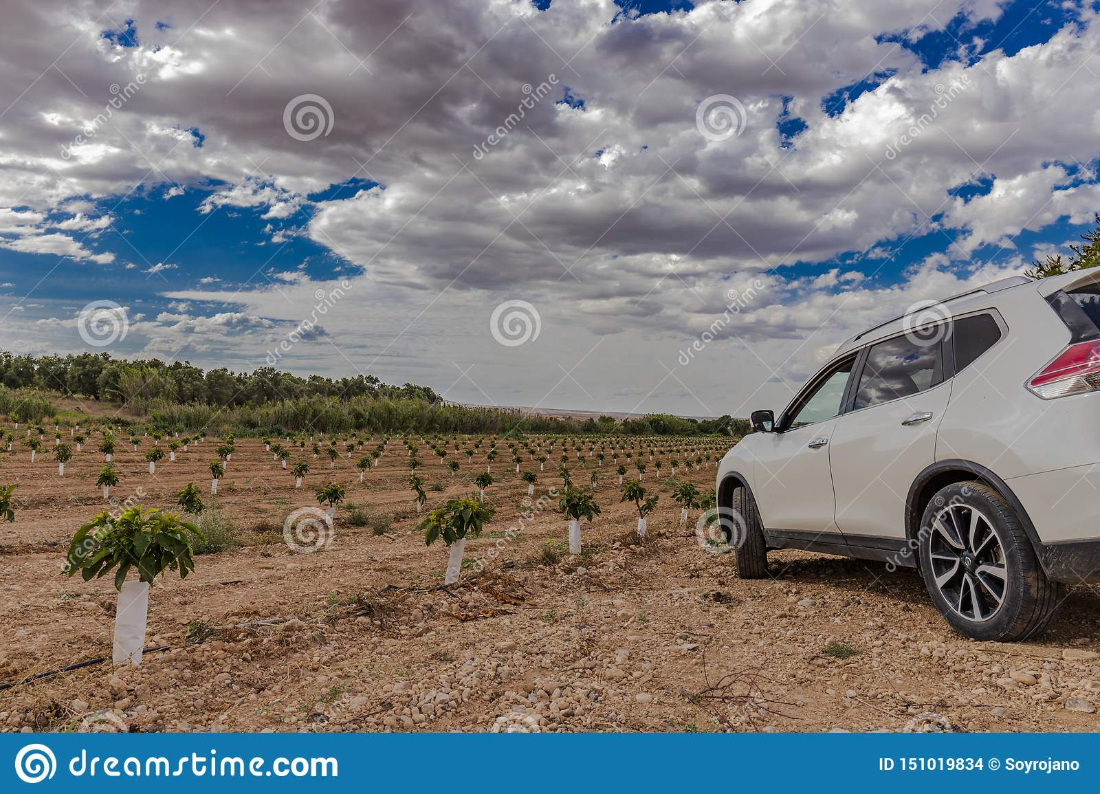 Field of small cherry trees with white car