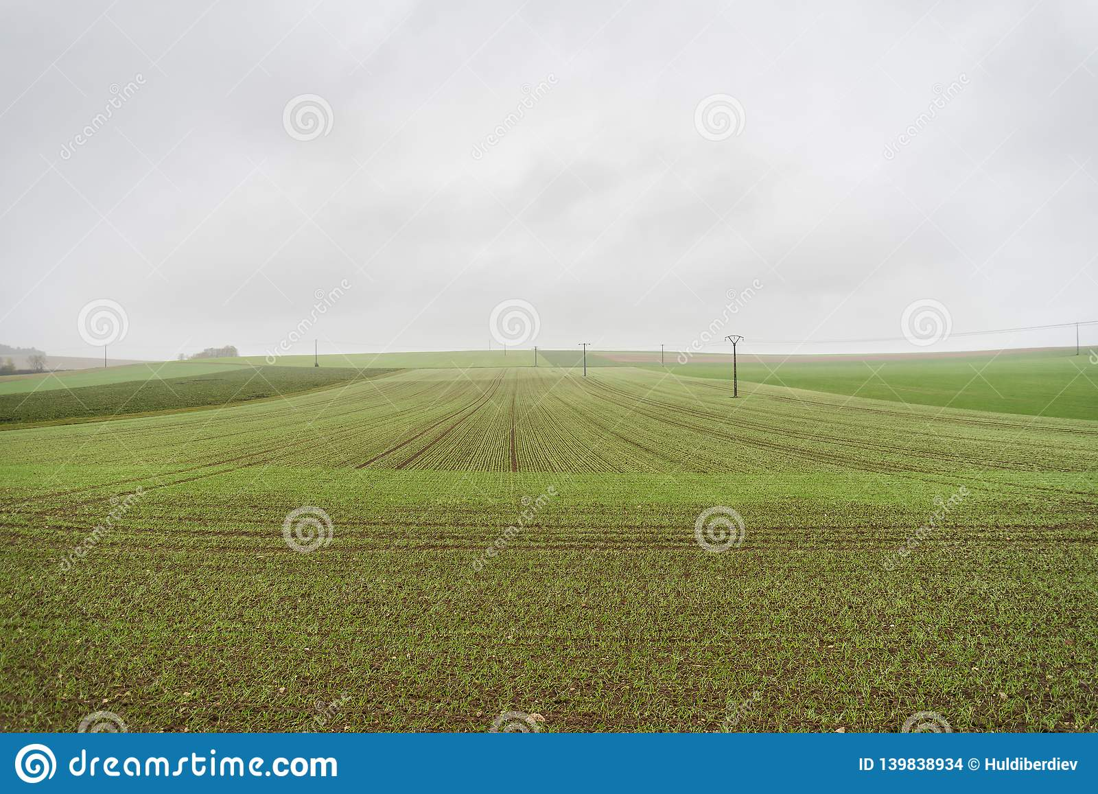 Field with sprouting wheat