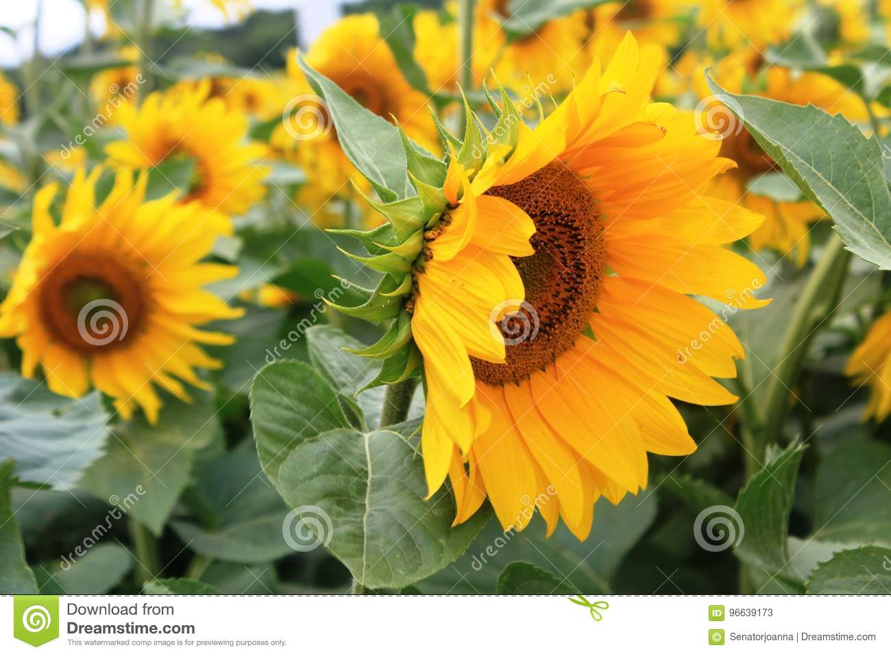 A Field Of Sunflowers In France Stock Image Image Of Annual