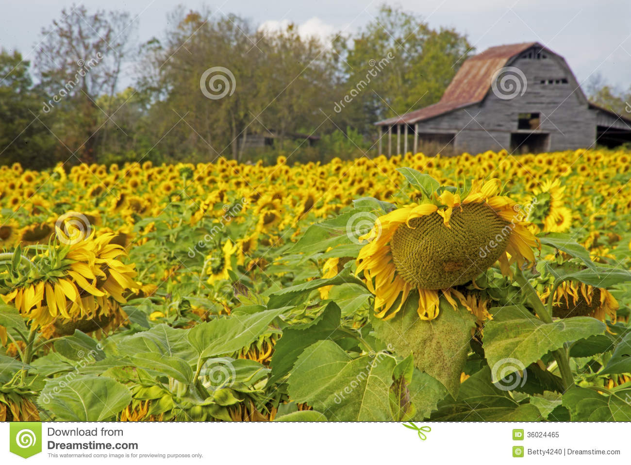 Field Of Sunflowers Near An Old Tobacco Barn Stock Image