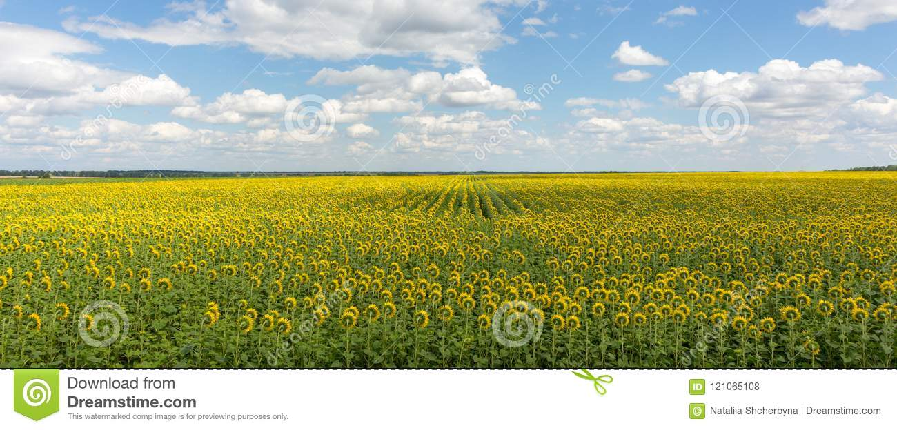 Field of sunflowers panorama landscape. Bright blooming sunflowers meadow against blue sky with clouds. Sunny summer landscape.