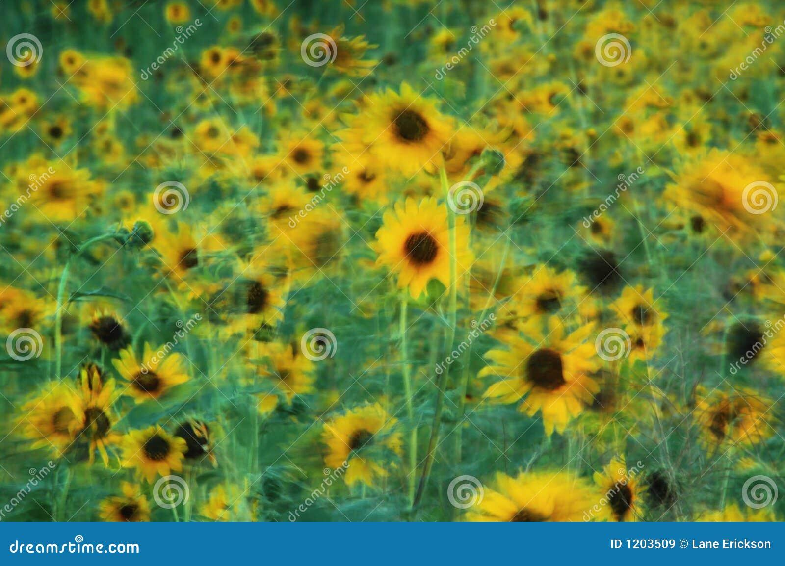 Field of Sunflowers Swaying in Summer Breeze