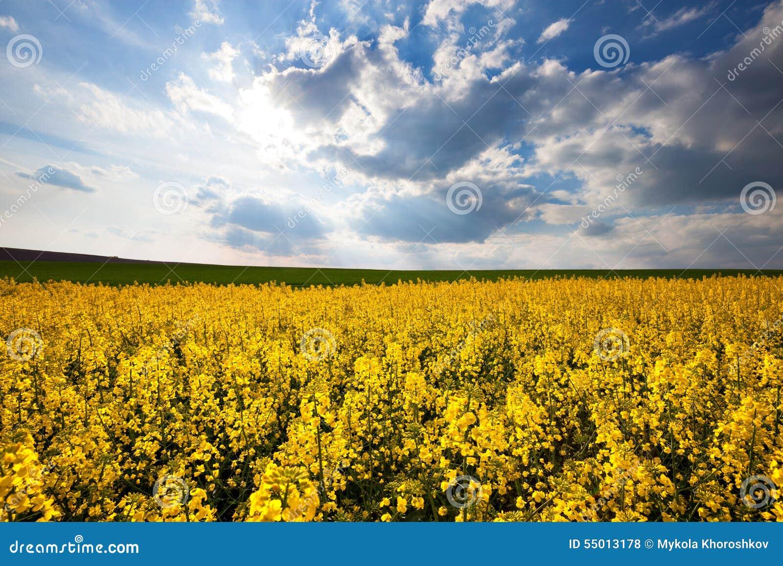 beautiful yellow field landscape - photo #27