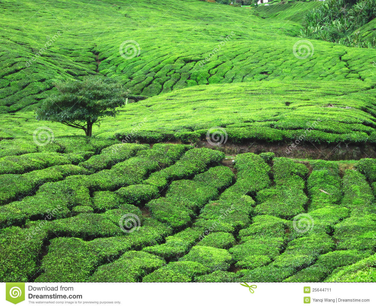 Field of Tea Trees