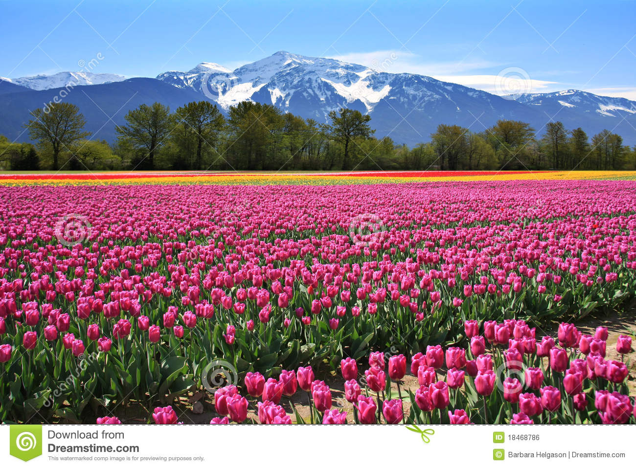 Download Field of tulips stock photo. Image of columbia, beauty - 18468786