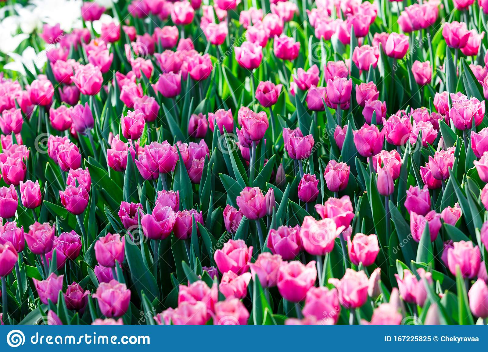 Field Of Violet Pink Tulips With Selective Focus Spring Floral