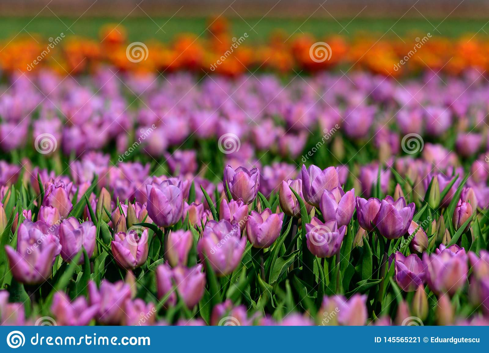 Field of violet tulips in Holland , spring time colourful flowers