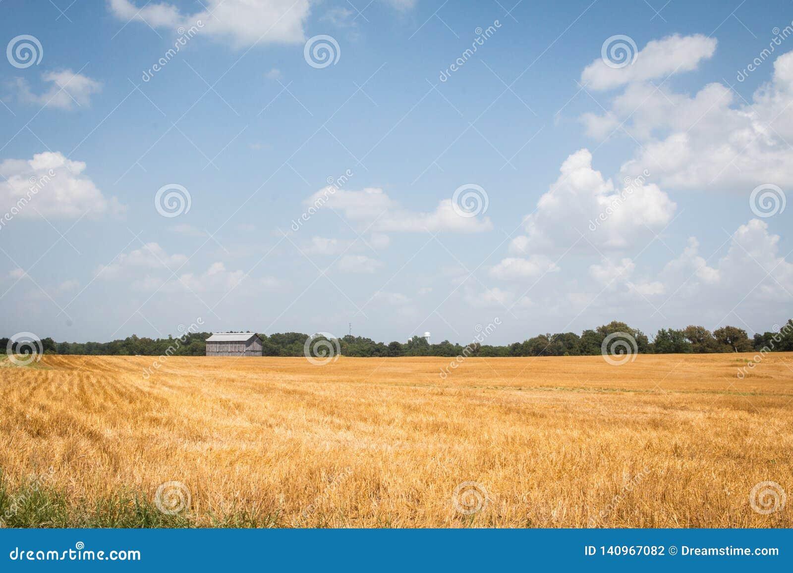 Field of Wheat in the Heartland