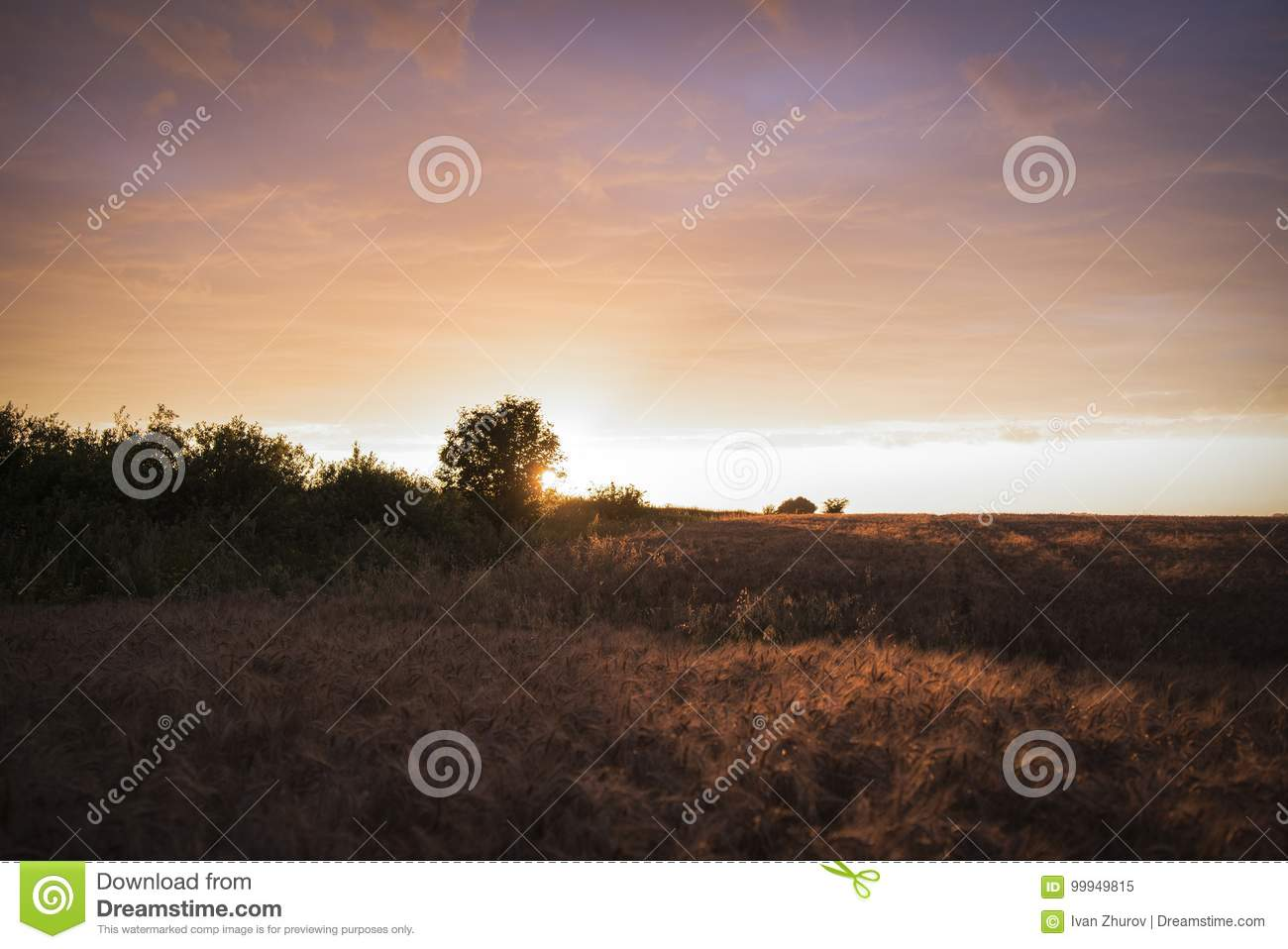 Field with wheat at sunset