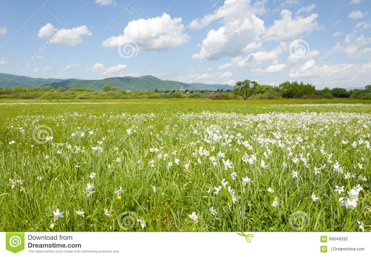 Field Of White Flowers And Blue Sky In Ukraine Stock Photo Image