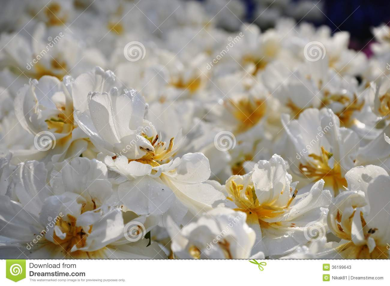 Field Of White Flowers With Dew Stock Image Image Of White Rain