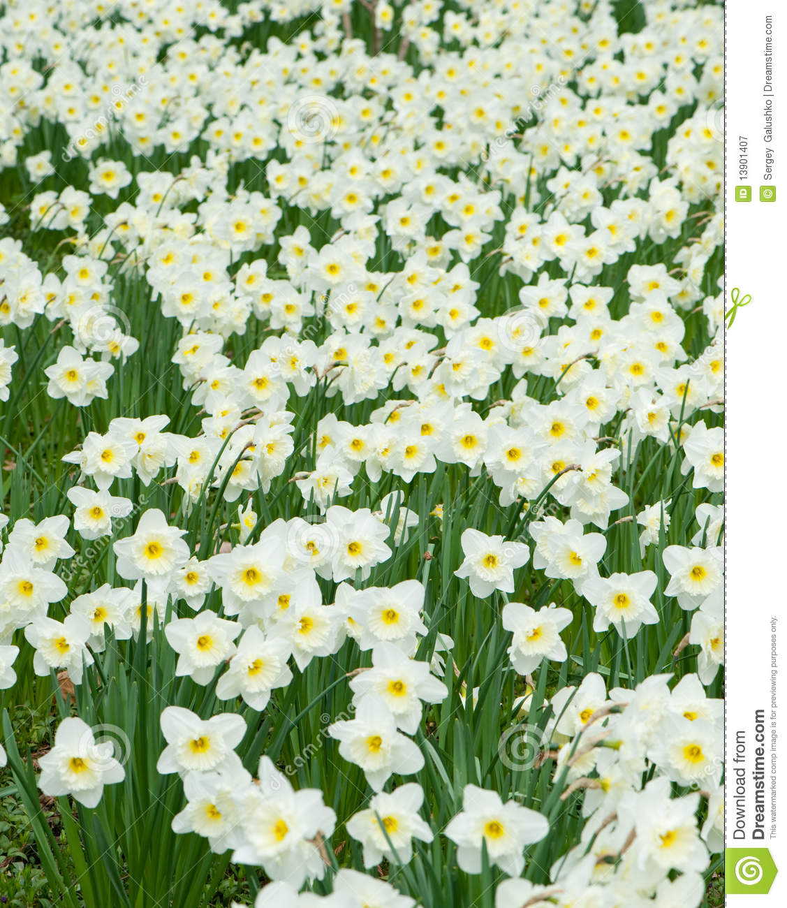Field Of White Flowers Narcissus Stock Image Image Of Garden