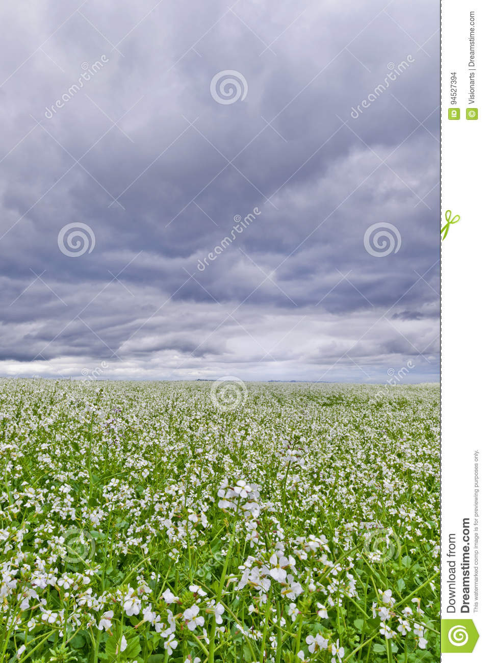 Field Of White Flowers With Storm Clouds Overhead Stock Photo