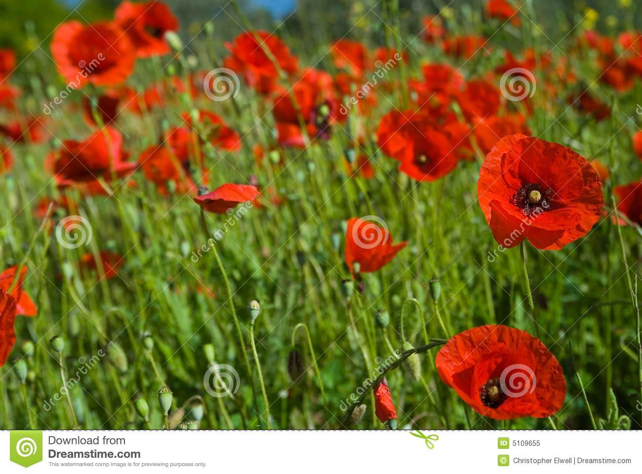 Field of Wild Red Poppies