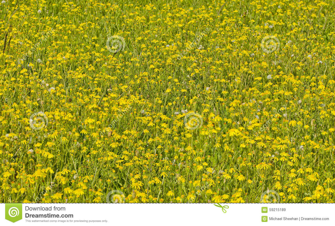 Field Of Wild Yellow Flowers Stock Image Image Of Bloom Bunch