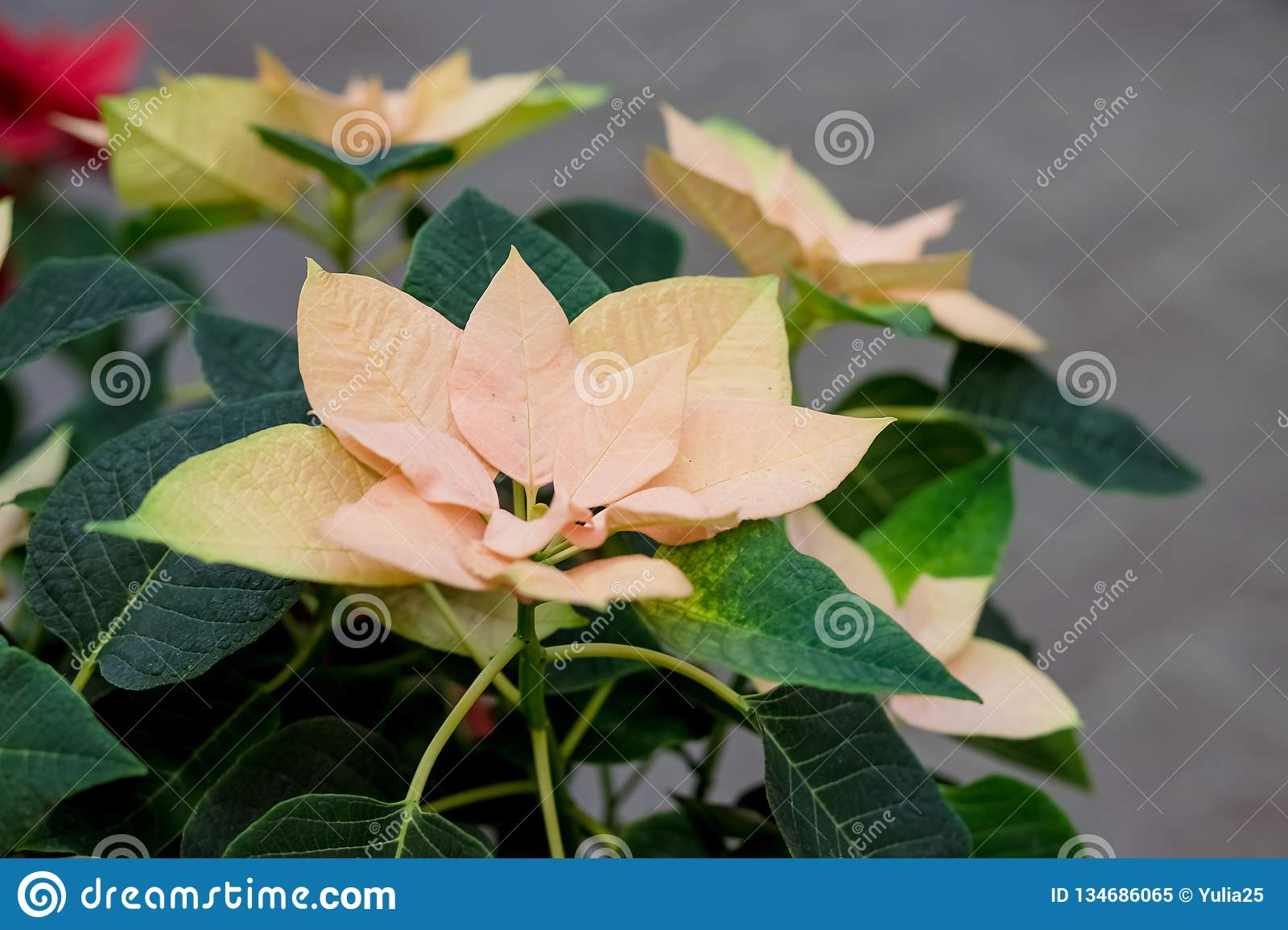 Field of yellow Christmas stars in greenhouse for sale. Background texture photo of Poinsettia flowers , Euphorbia