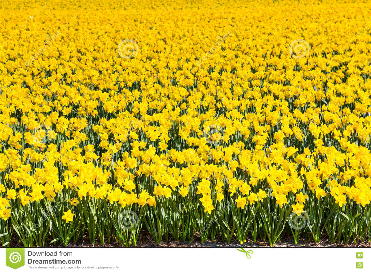Field of yellow daffodil flowers blooming in spring panoramic royalty free stock photo dhlflorist Choice Image