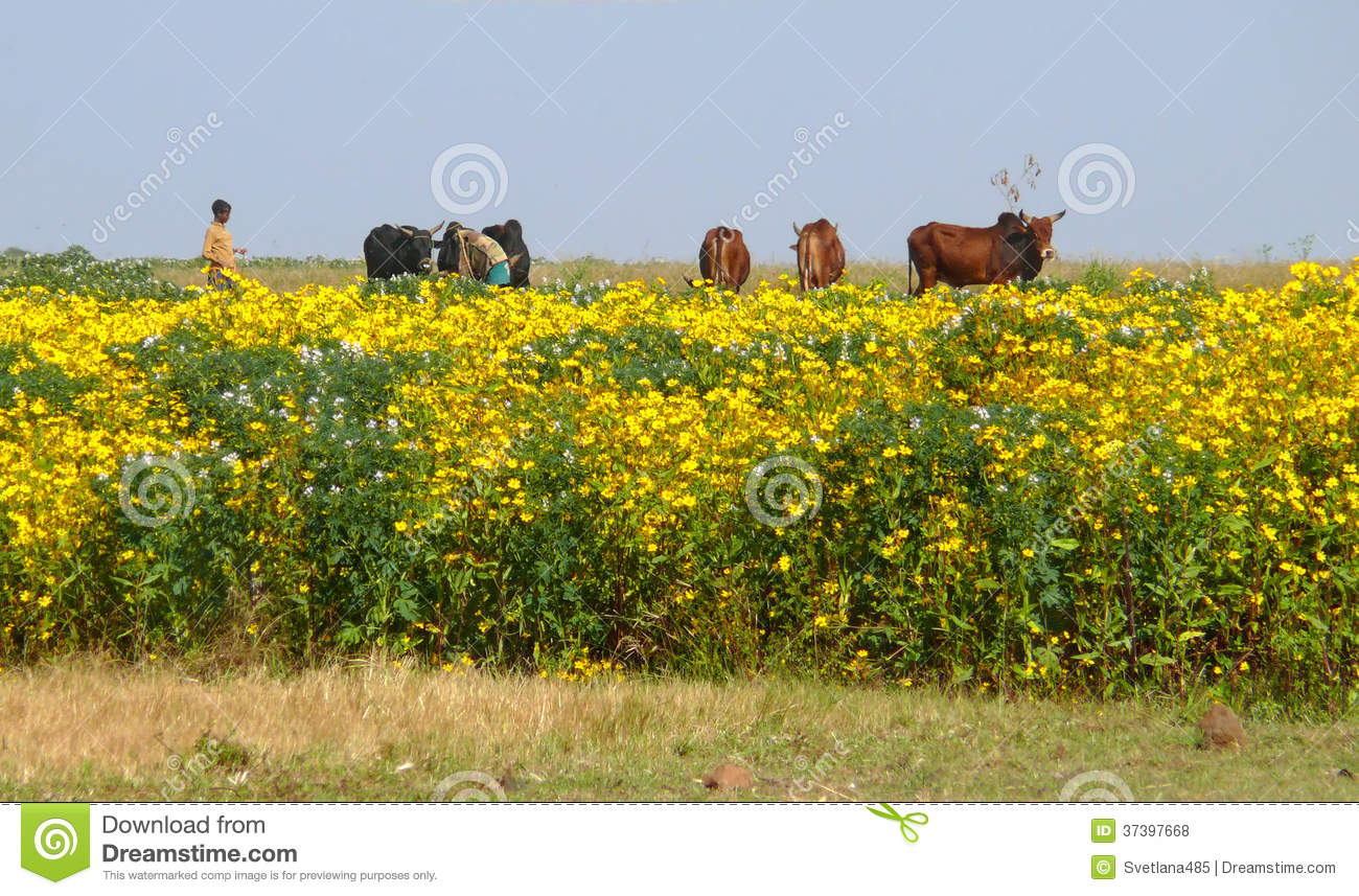 Field With Yellow Flowers Cows In The Pasture Editorial Stock