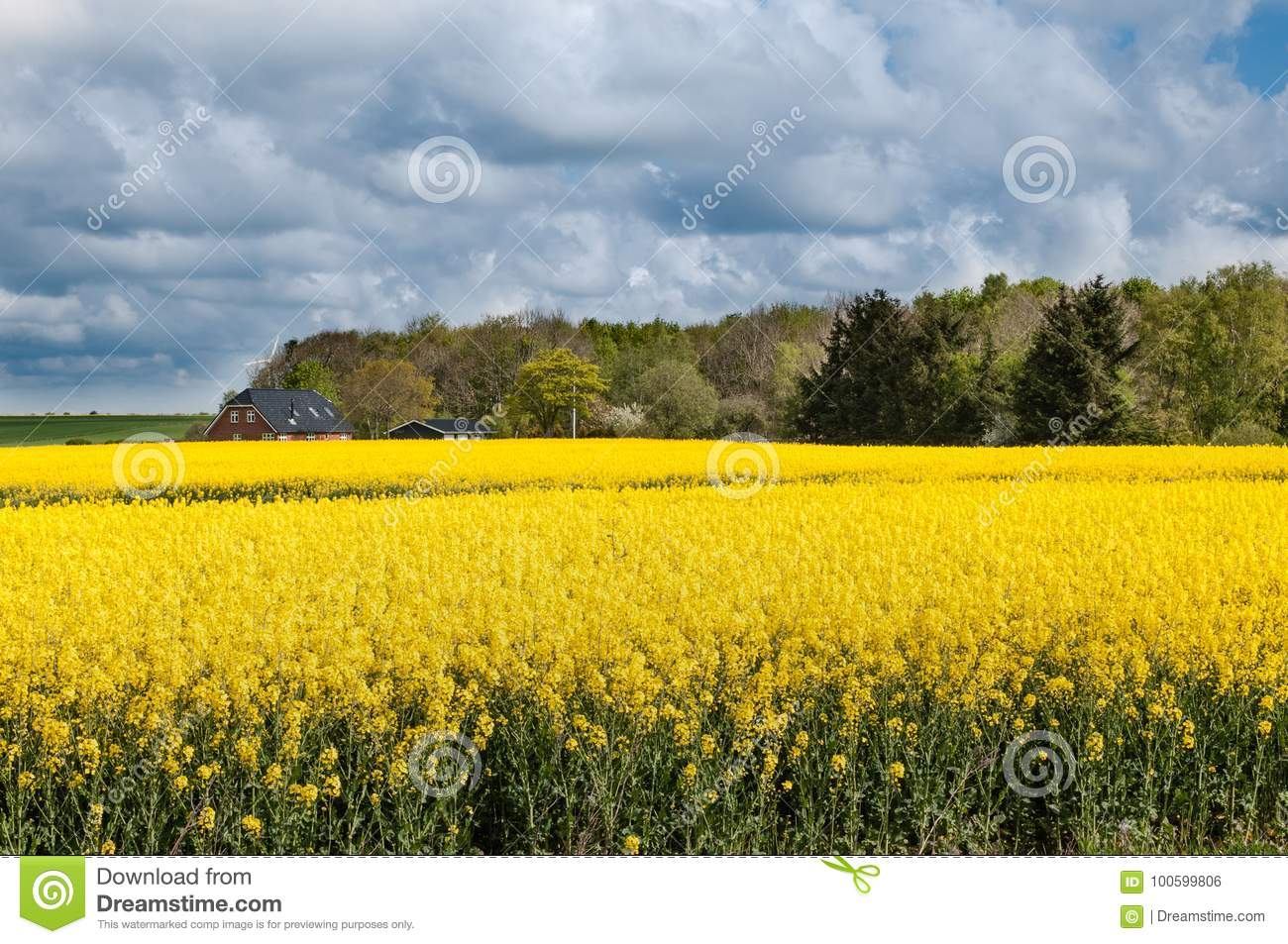 Field Of Yellow Flowers In Denmark Stock Photo Image Of Seed