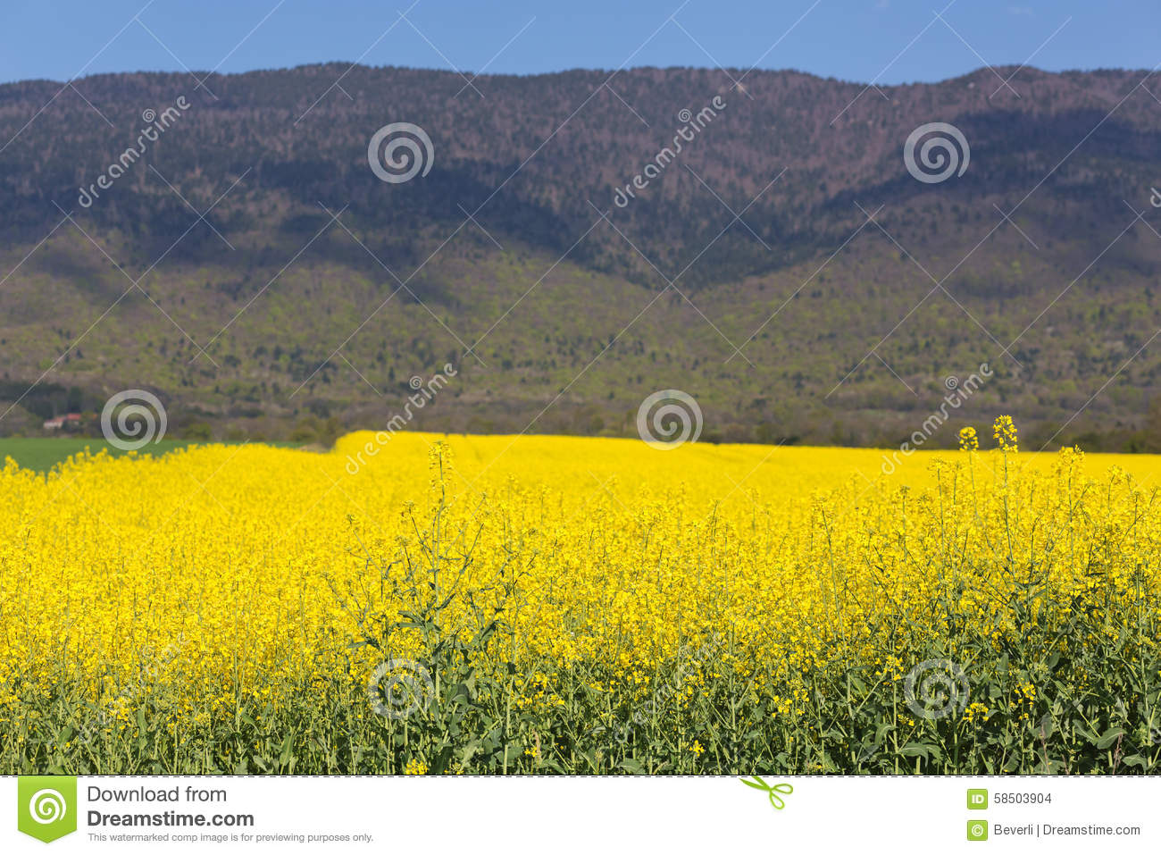 Field Of Yellow Flowers Stock Photo Image Of Freshness 58503904