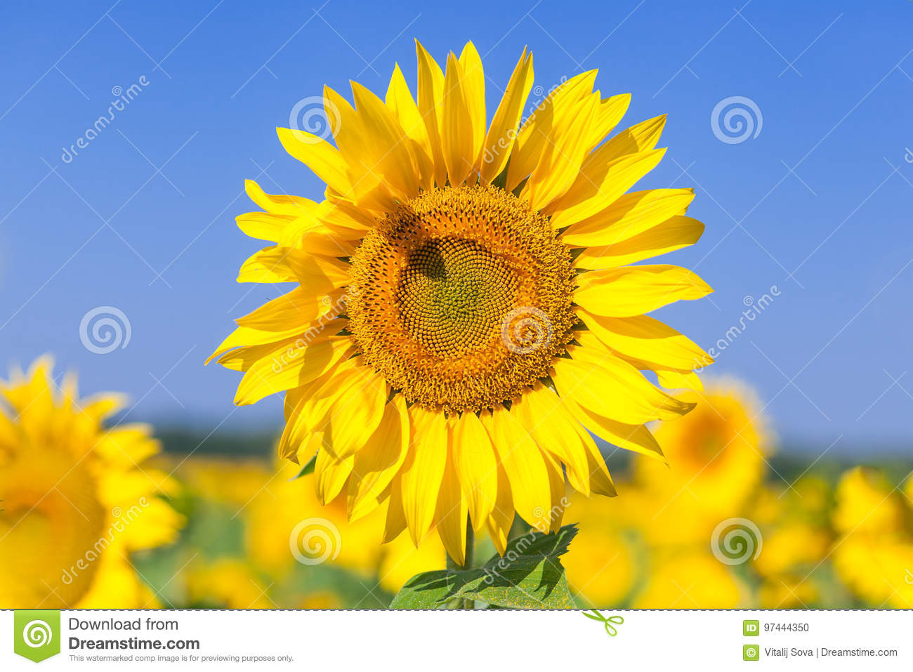 Field of yellow sunflowers stock photo. Image of blurred ...