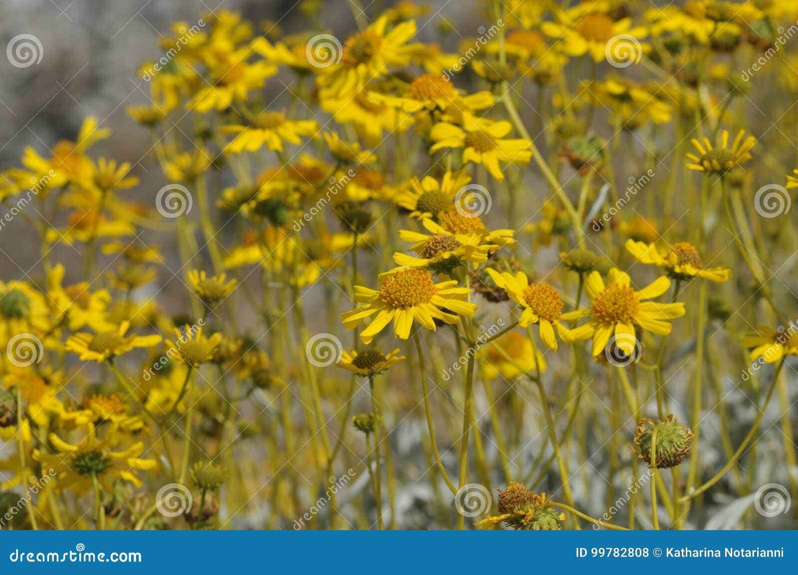 Field of Yellow Wildflowers in Full Bloom on Desert Floor