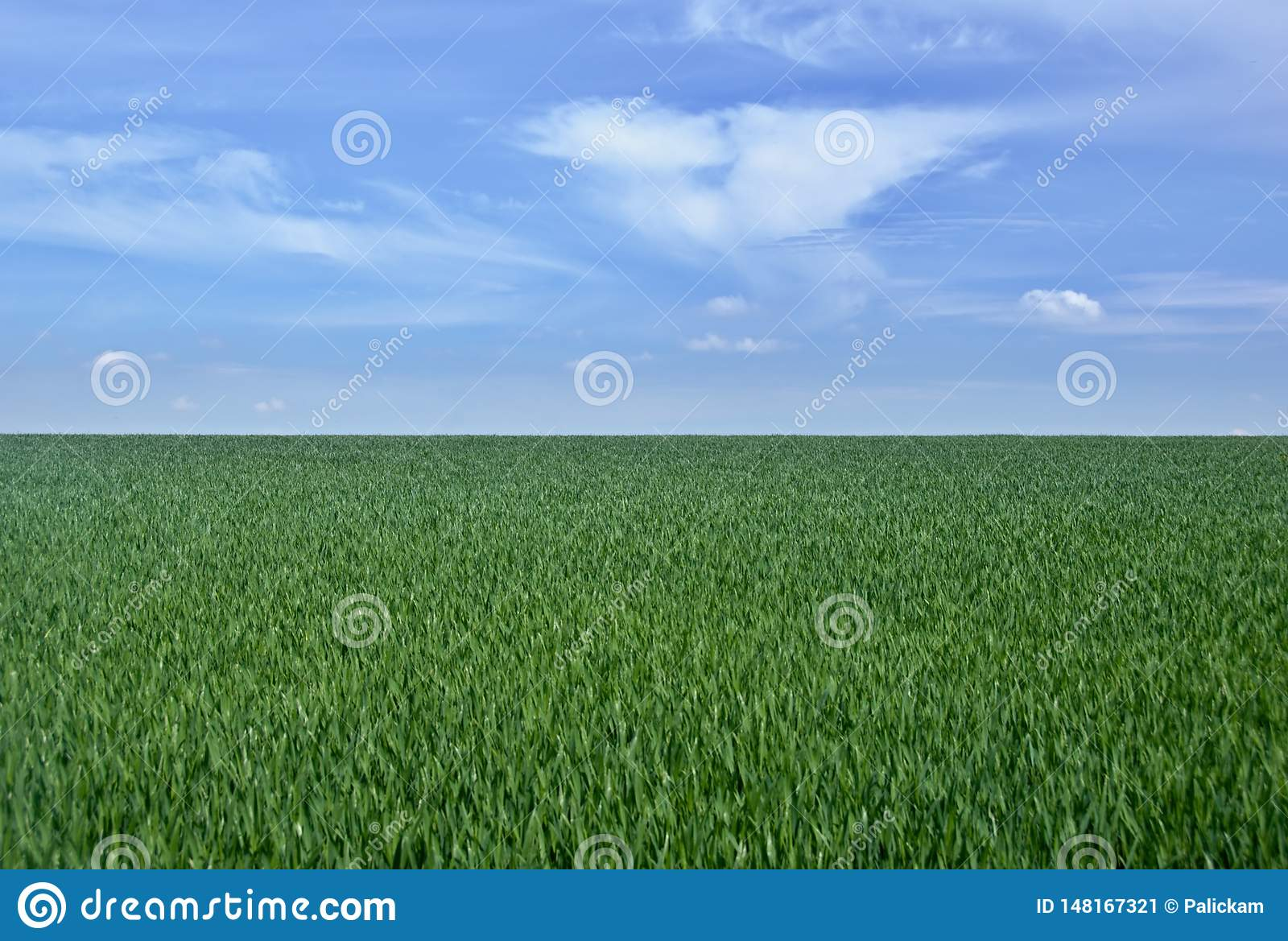 Field of young sprouts of wheat