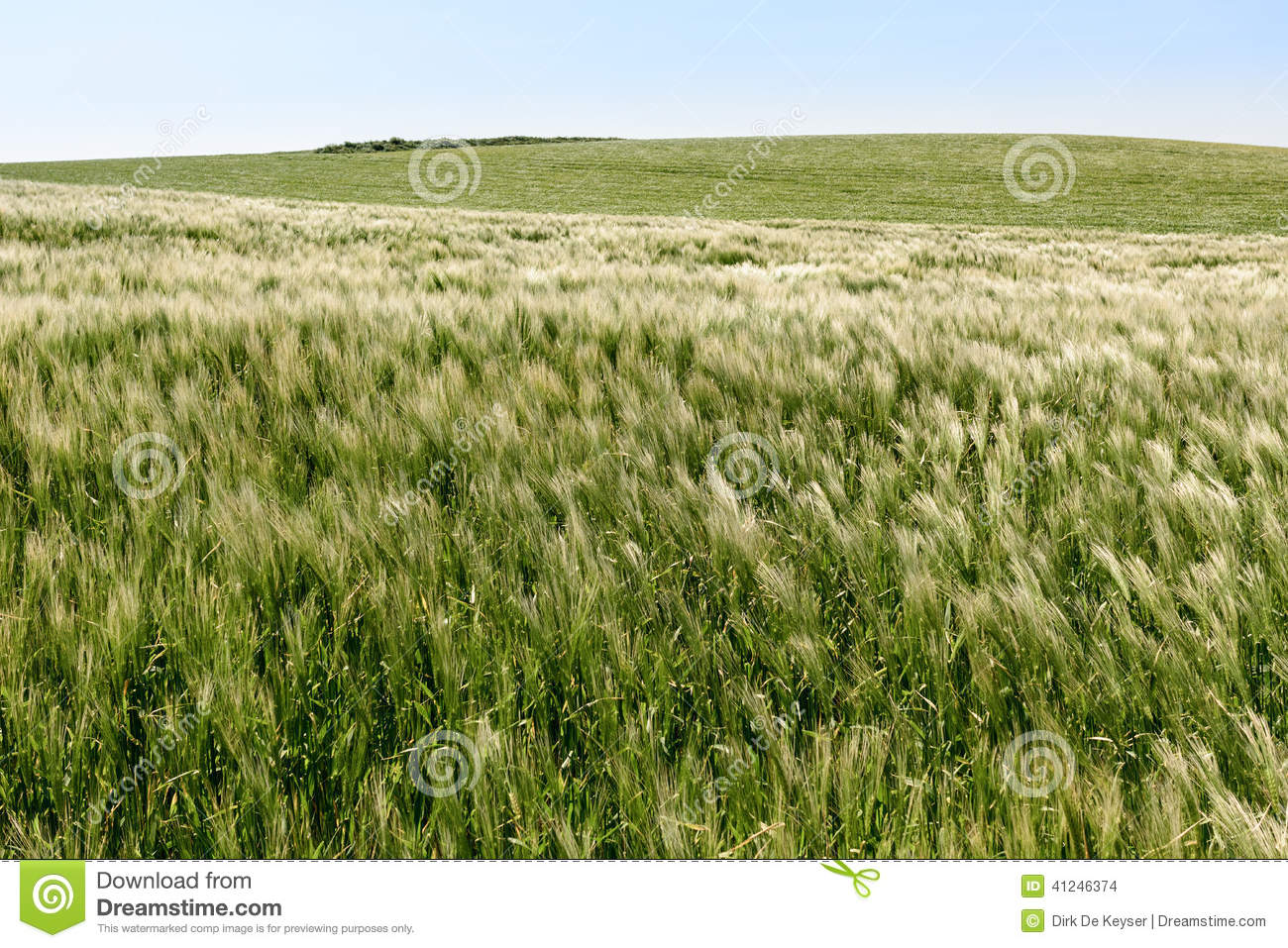 Field with young wheat on the cliffs of Cap Gris Nez, France