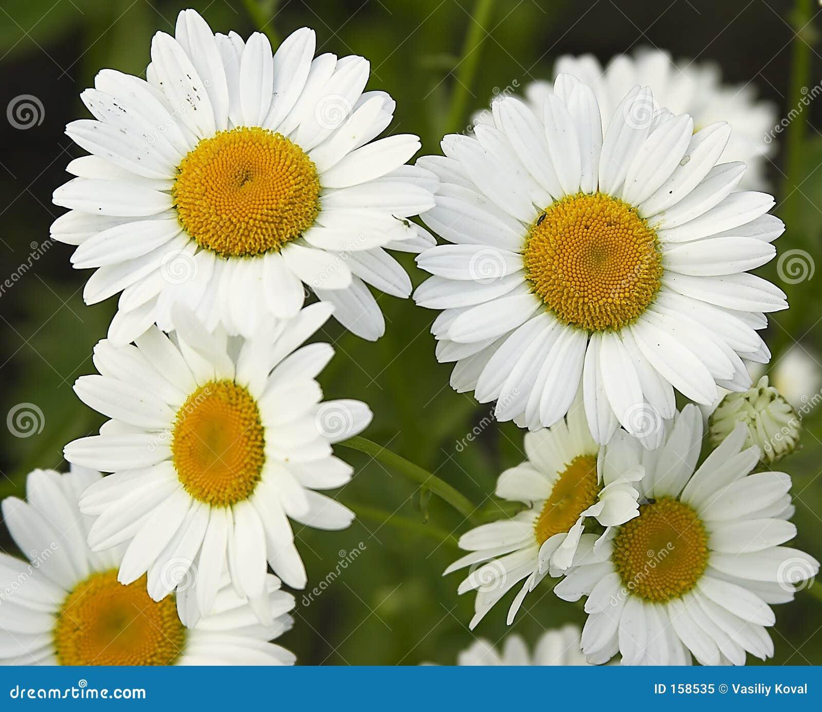 Fieldflowers (camomile)