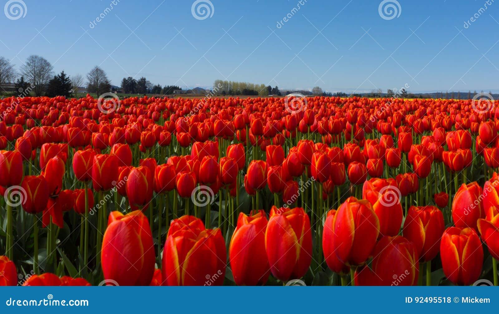 Fields красный тюльпан