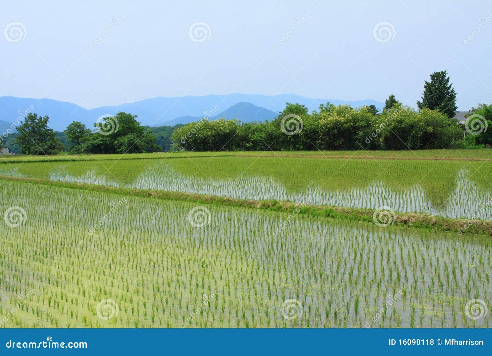 Fields gyeongjupaddy
