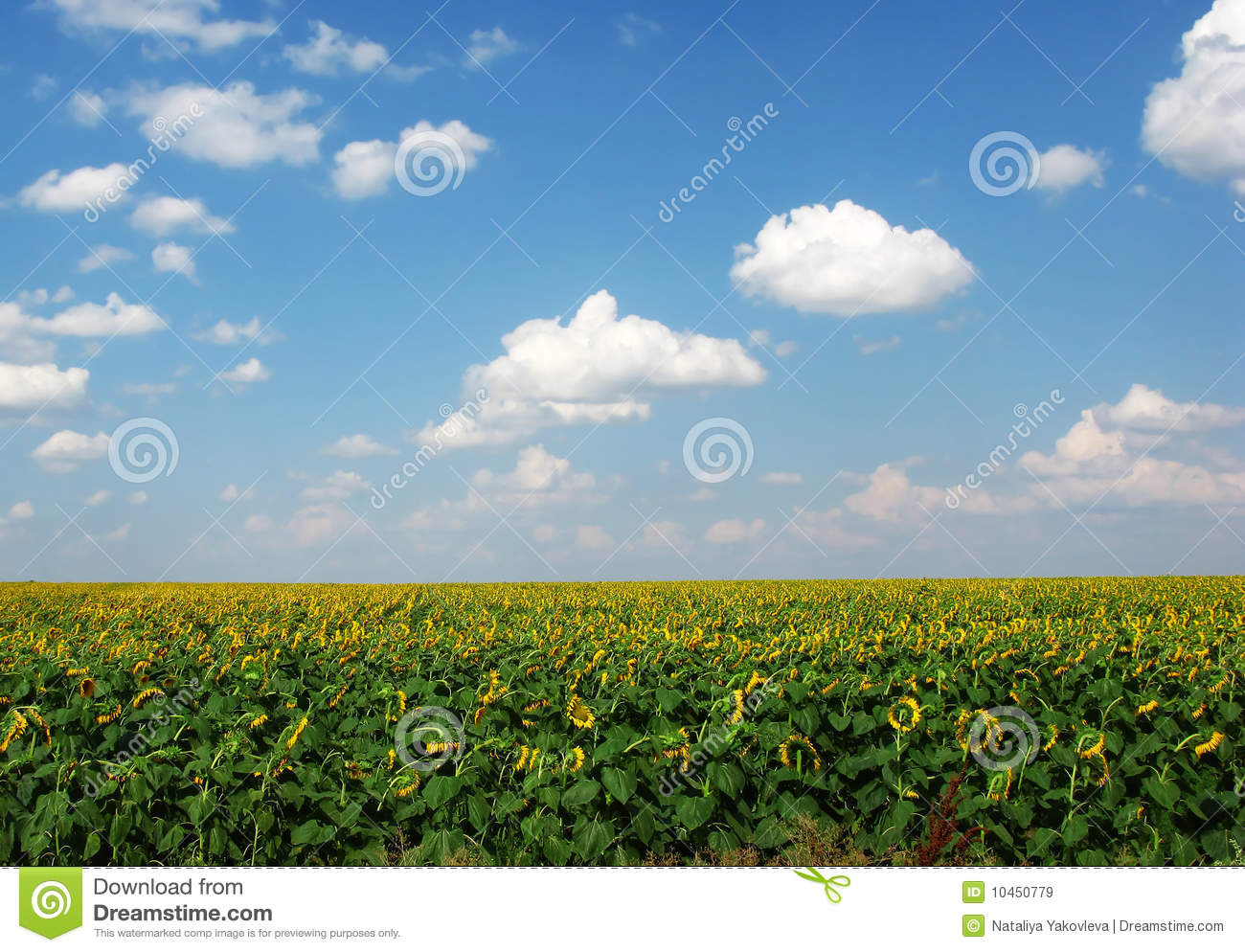 Fields of sunflowers royalty free stock images image 10450779