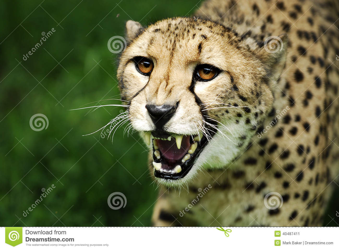 Fierce Cheetah attacking