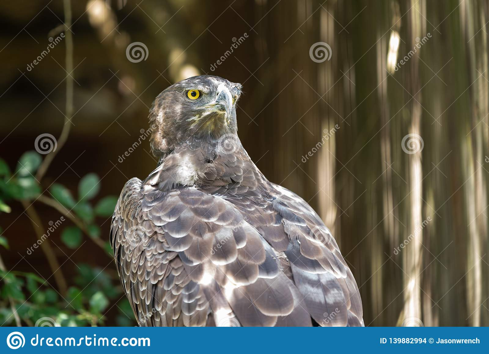 The fierce gaze of a Martial Eagle