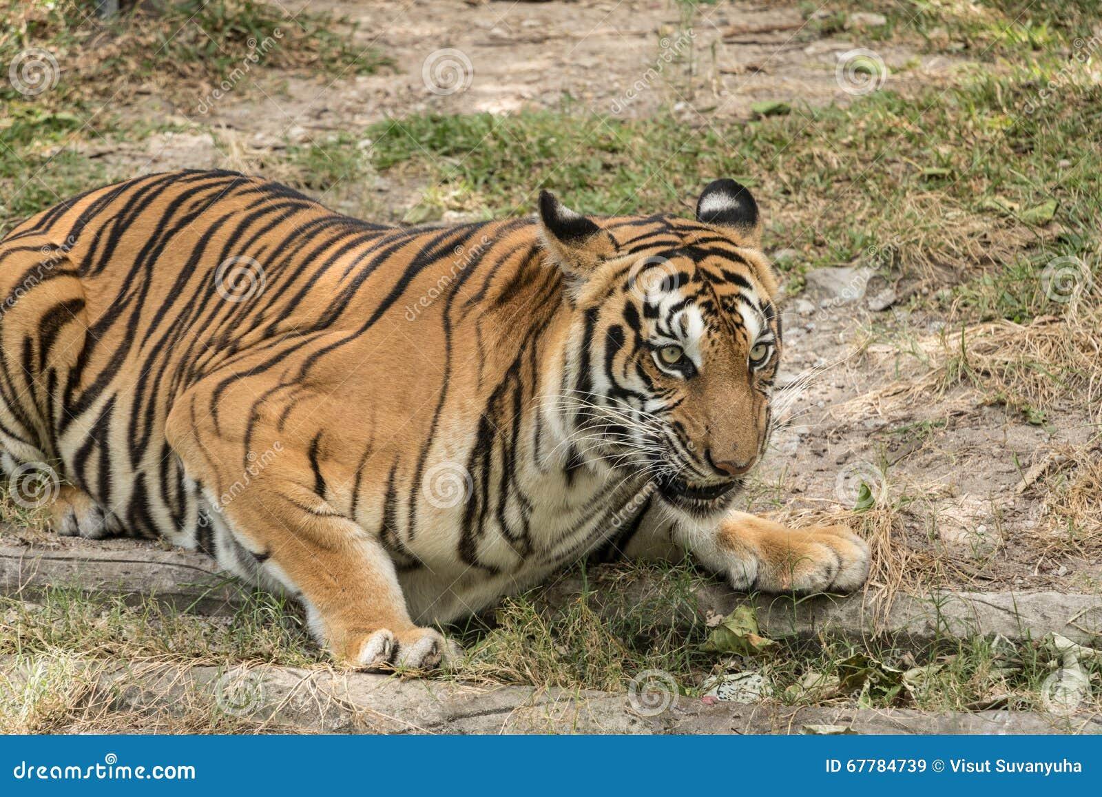 The fierce tiger fearful.