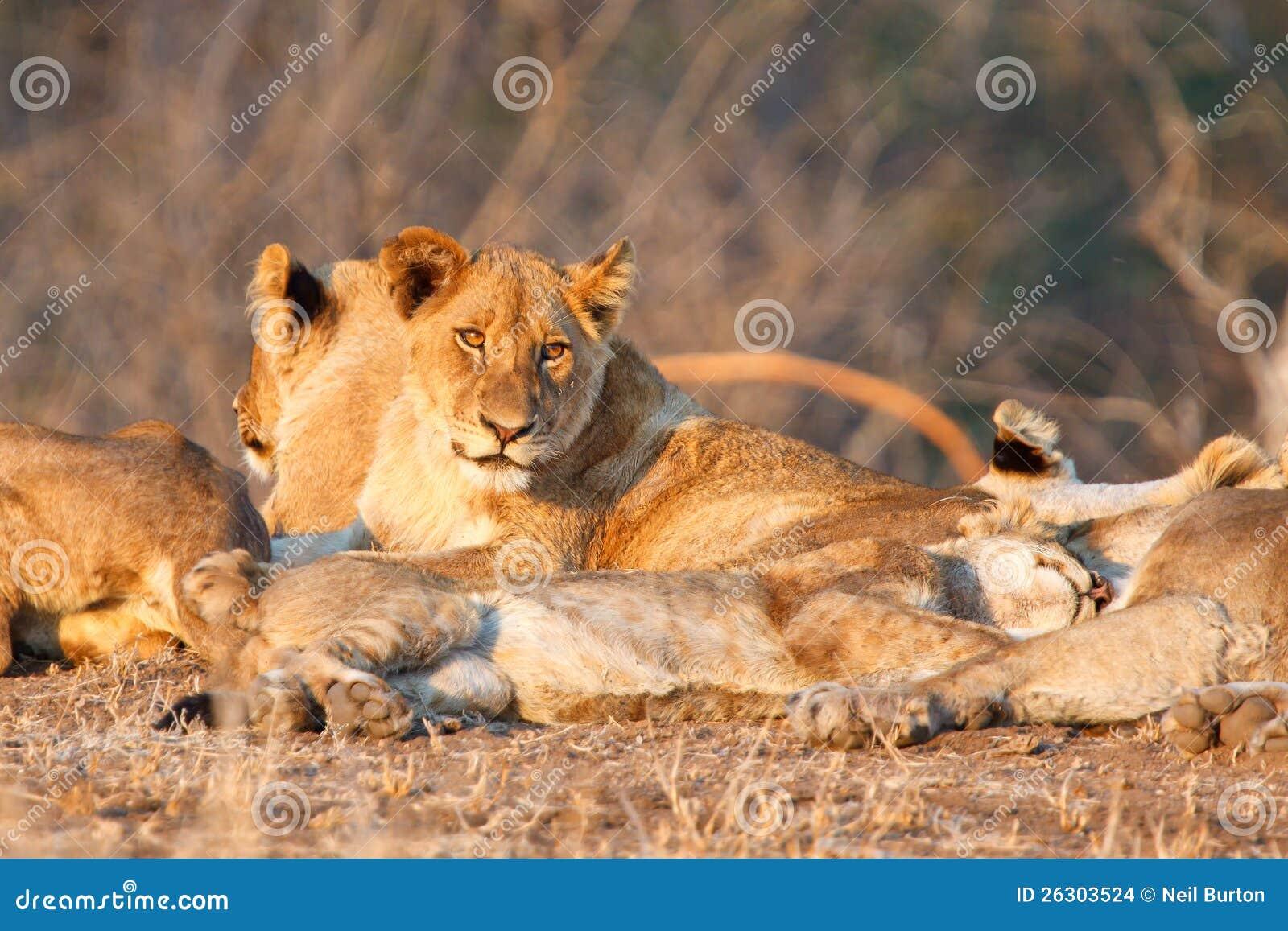 Fierté de lion dans Kruger NP